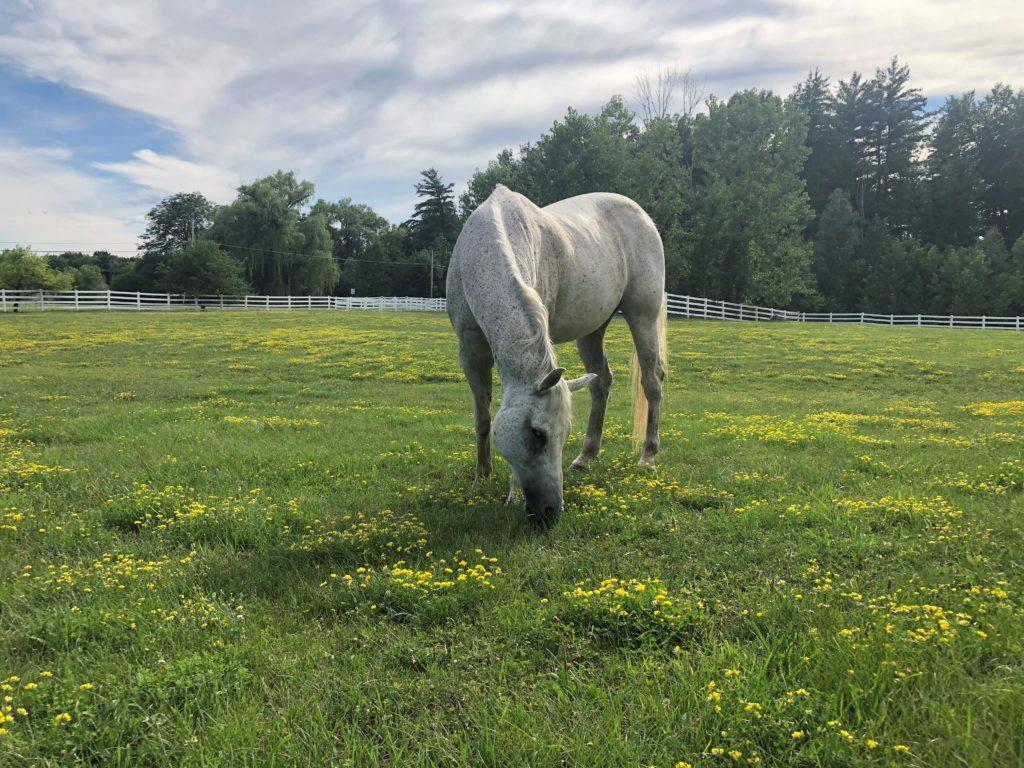 Gray Senior Horse Grazing